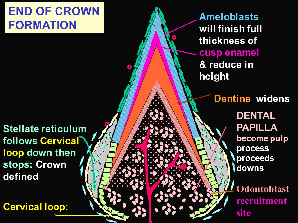 END OF CROWN FORMATION Ameloblasts will finish full thickness of cusp enamel & reduce in height. Dentine widens.