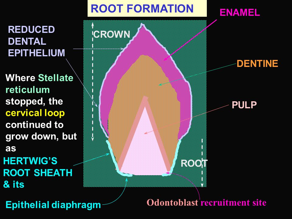ROOT FORMATION ENAMEL REDUCED DENTAL EPITHELIUM CROWN DENTINE