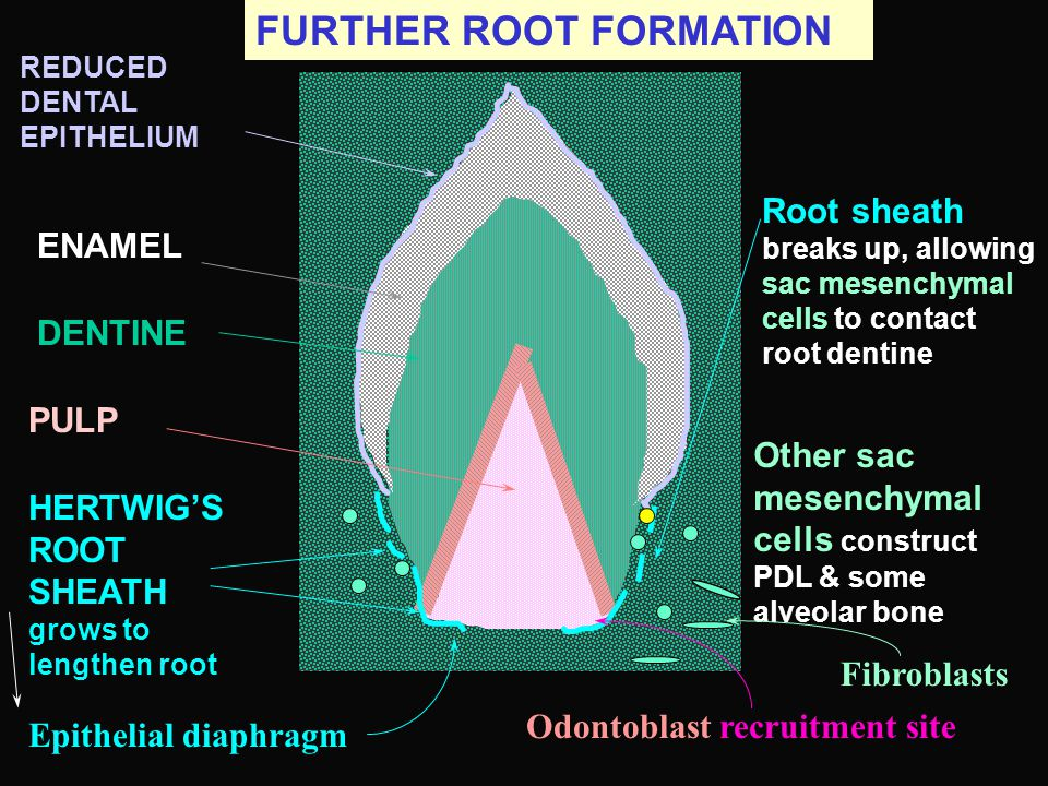 FURTHER ROOT FORMATION