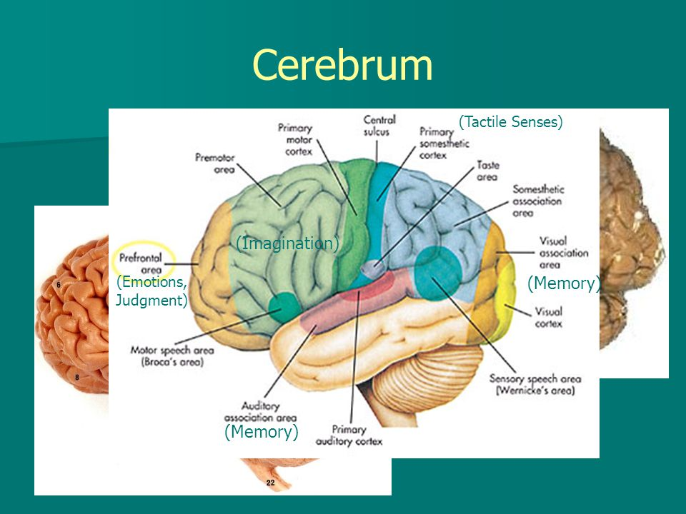 Cerebrum (Imagination) (Memory) (Memory) (Tactile Senses)