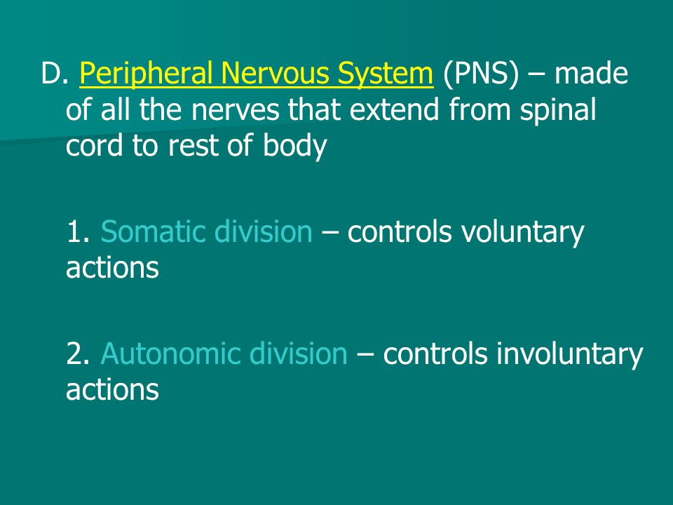 D. Peripheral Nervous System (PNS) – made of all the nerves that extend from spinal cord to rest of body