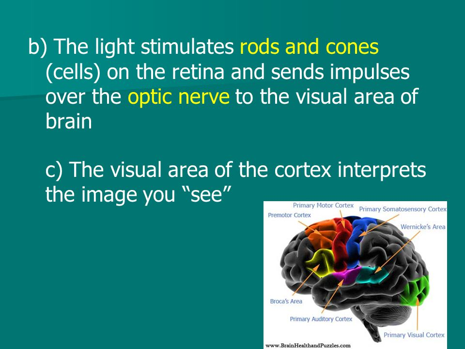 b) The light stimulates rods and cones (cells) on the retina and sends impulses over the optic nerve to the visual area of brain