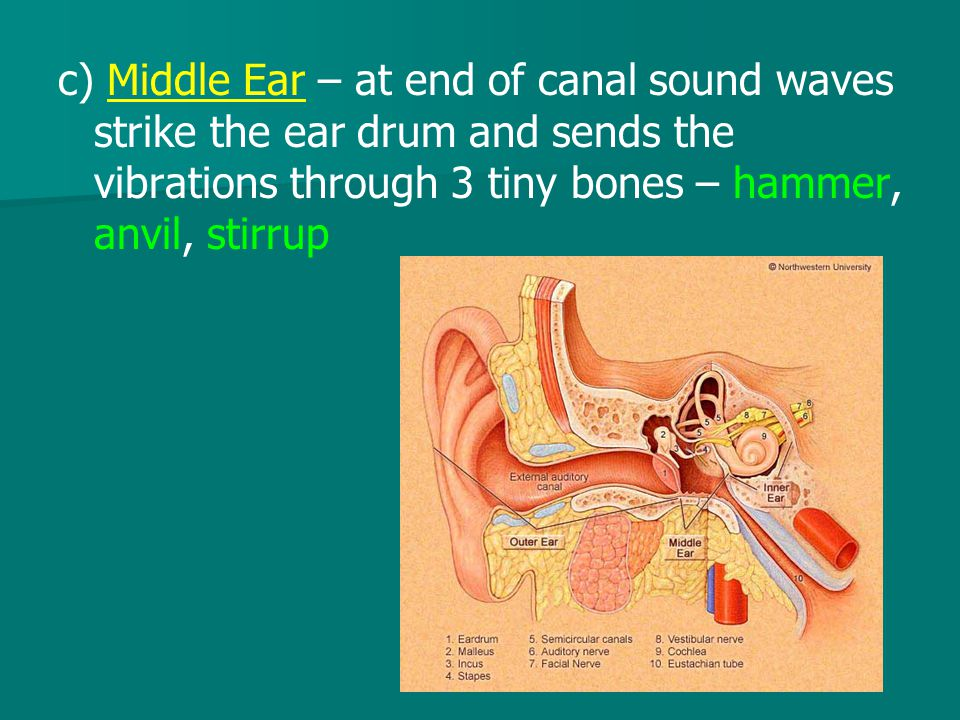 c) Middle Ear – at end of canal sound waves strike the ear drum and sends the vibrations through 3 tiny bones – hammer, anvil, stirrup