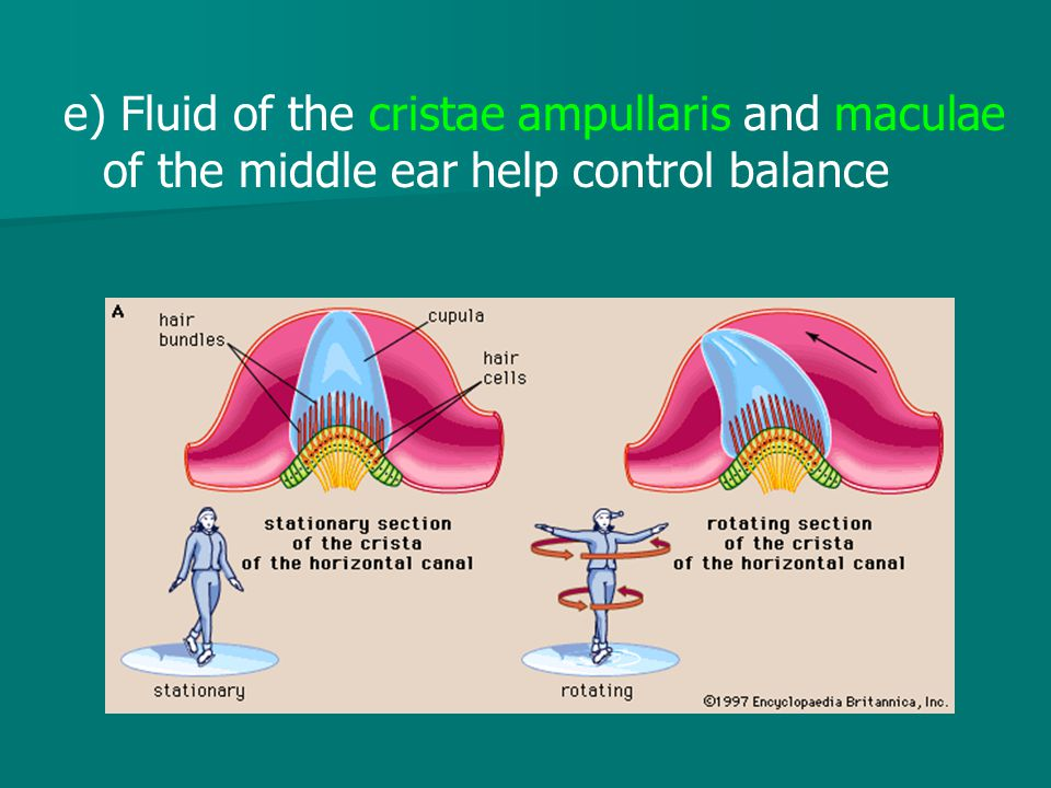 e) Fluid of the cristae ampullaris and maculae of the middle ear help control balance