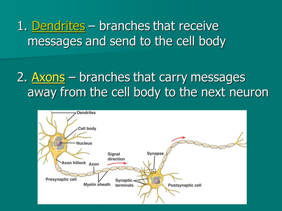 1. Dendrites – branches that receive messages and send to the cell body 2.