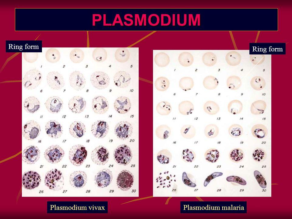 PLASMODIUM Ring form Ring form Plasmodium vivax Plasmodium malaria