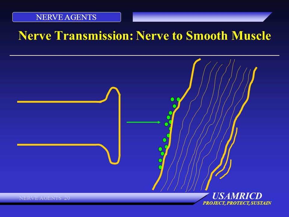 Nerve Transmission: Nerve to Smooth Muscle