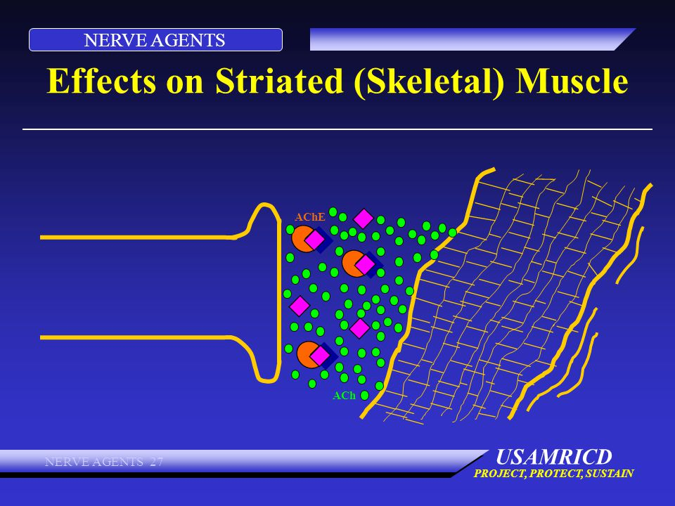 Effects on Striated (Skeletal) Muscle
