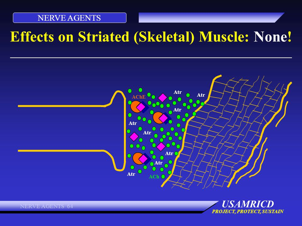 Effects on Striated (Skeletal) Muscle: None!