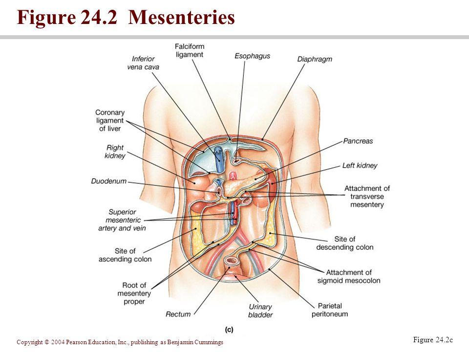 Figure 24.2 Mesenteries Figure 24.2c