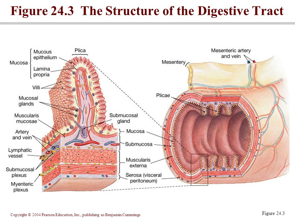 Figure 24.3 The Structure of the Digestive Tract