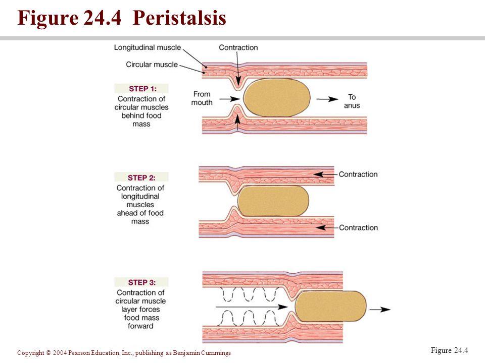 Figure 24.4 Peristalsis Figure 24.4