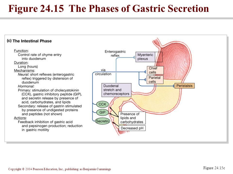 Figure 24.15 The Phases of Gastric Secretion