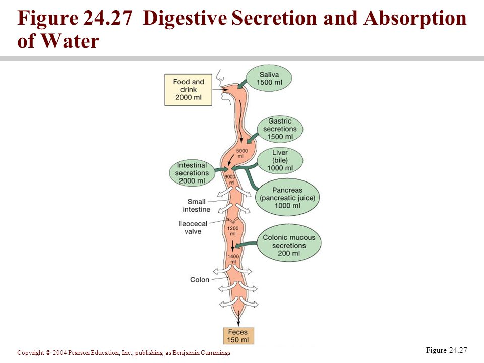 Figure 24.27 Digestive Secretion and Absorption of Water