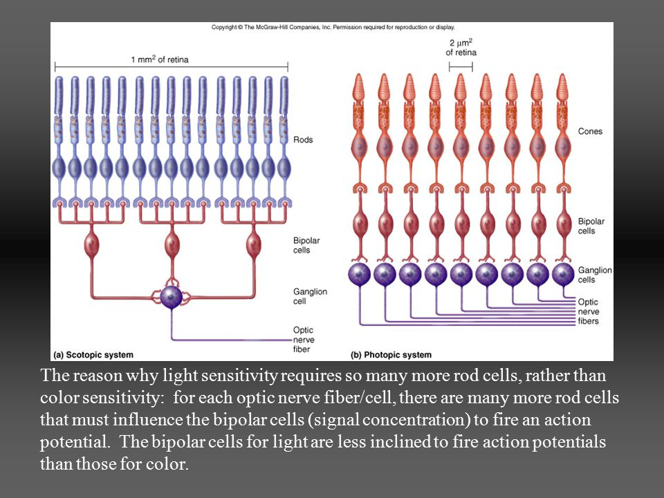 The reason why light sensitivity requires so many more rod cells, rather than color sensitivity: for each optic nerve fiber/cell, there are many more rod cells that must influence the bipolar cells (signal concentration) to fire an action potential.