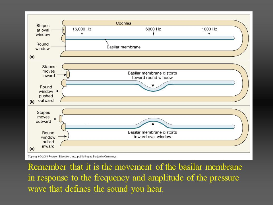 Remember that it is the movement of the basilar membrane in response to the frequency and amplitude of the pressure wave that defines the sound you hear.