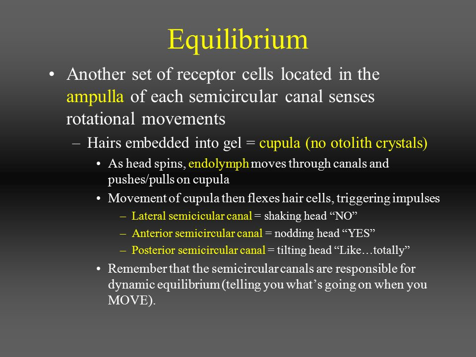 Equilibrium Another set of receptor cells located in the ampulla of each semicircular canal senses rotational movements.