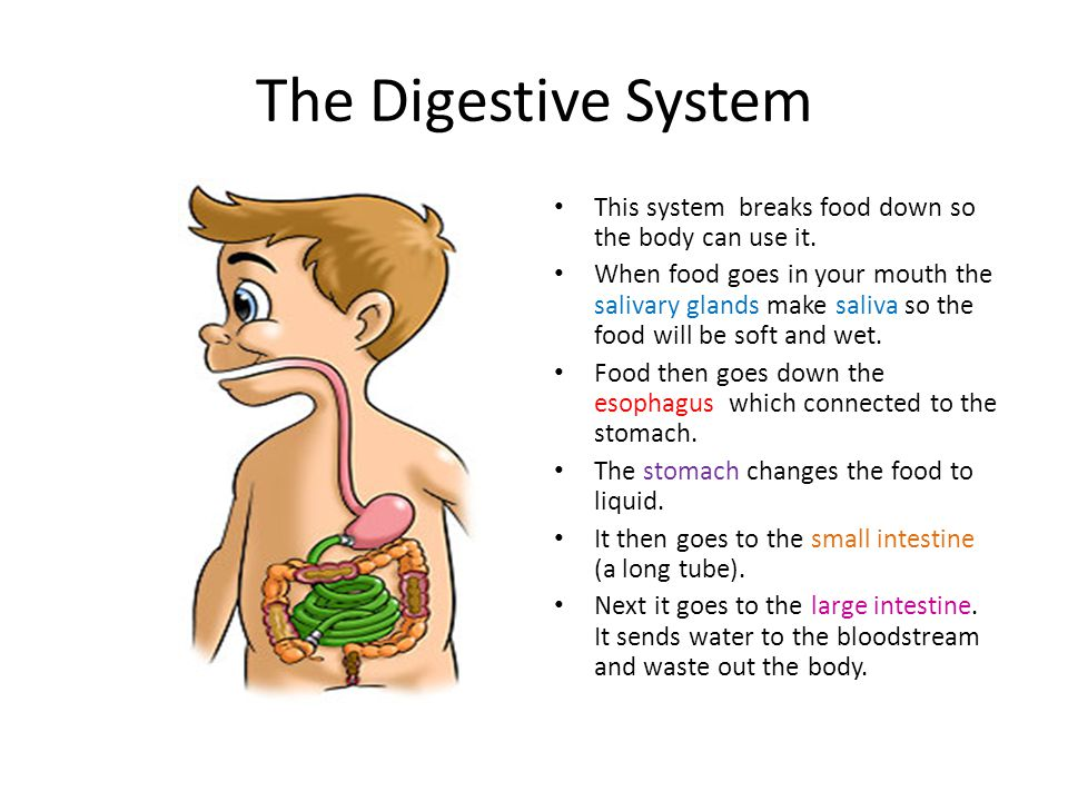 The Digestive System This system breaks food down so the body can use it.