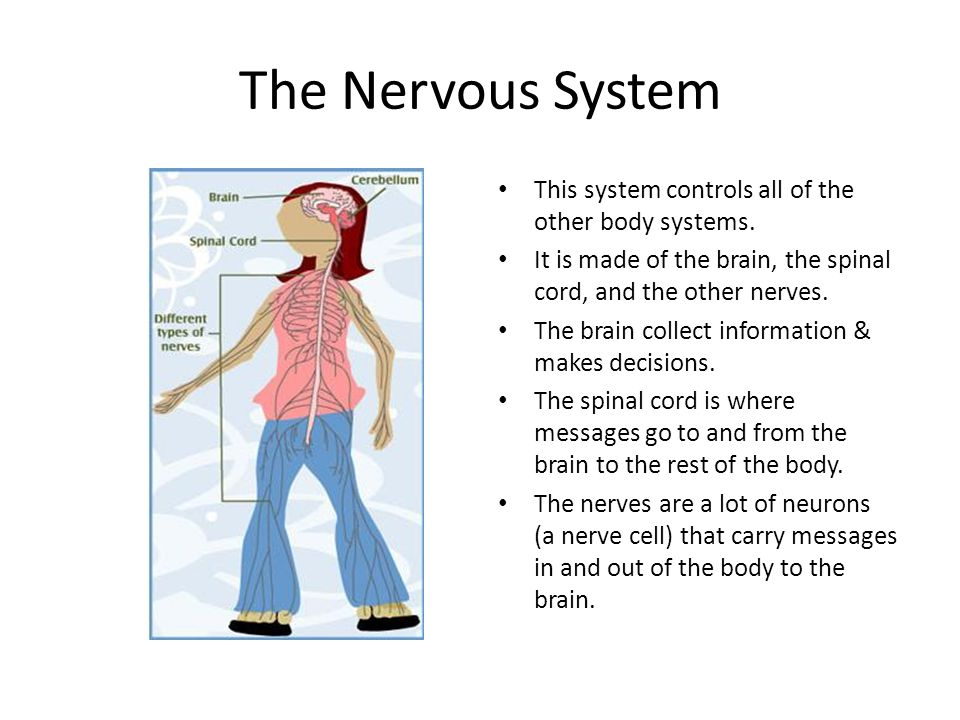 The Nervous System This system controls all of the other body systems.