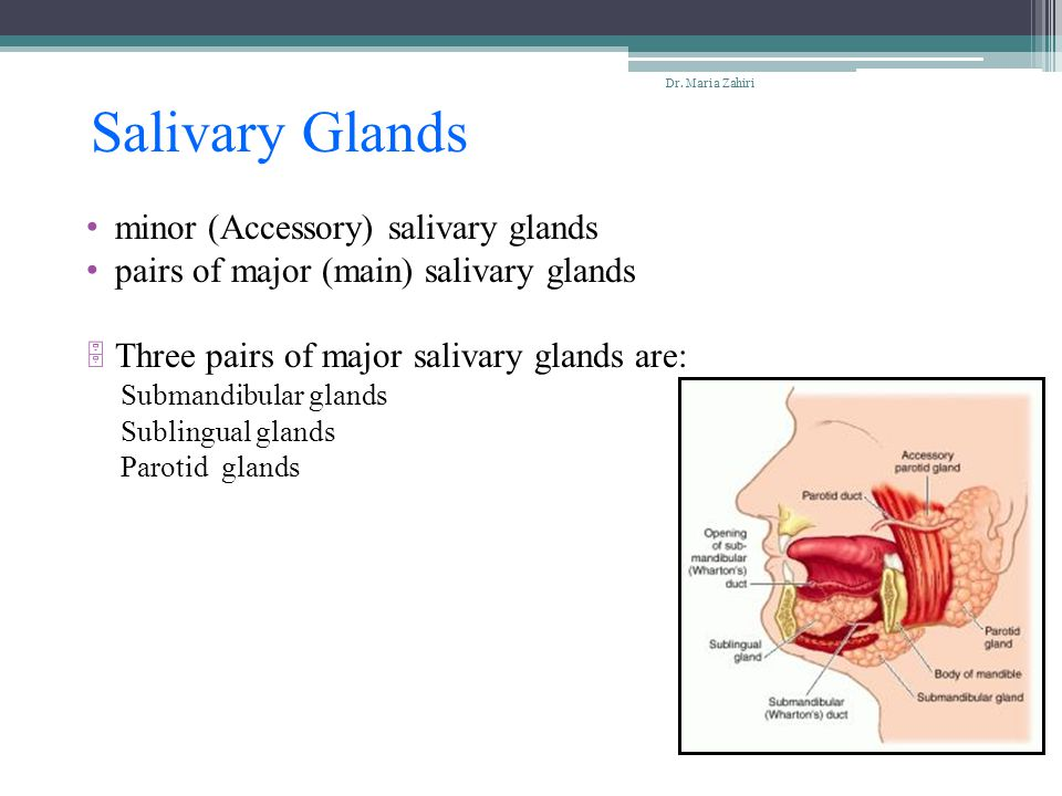 Salivary Glands minor (Accessory) salivary glands