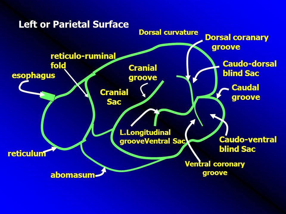 Left or Parietal Surface