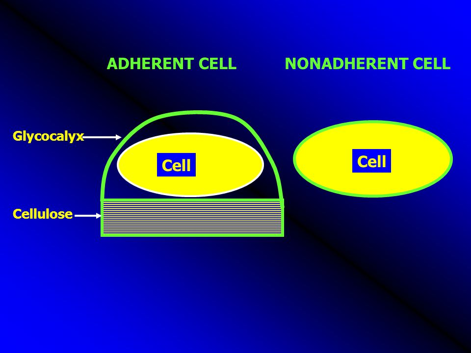 ADHERENT CELL NONADHERENT CELL Glycocalyx Cell Cell Cellulose