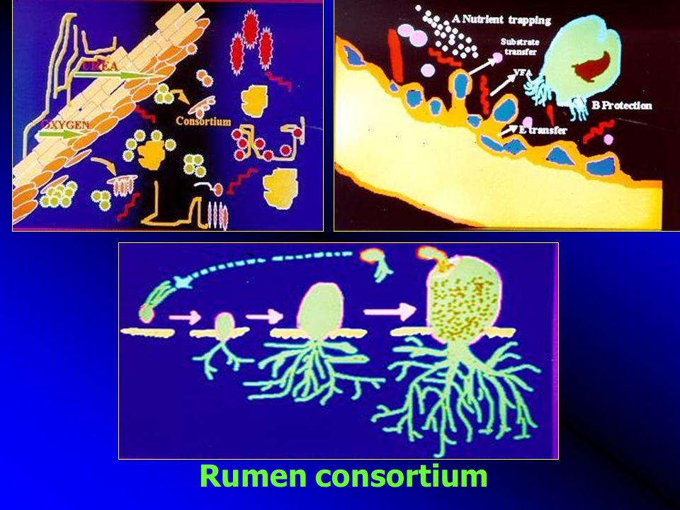 Rumen consortium