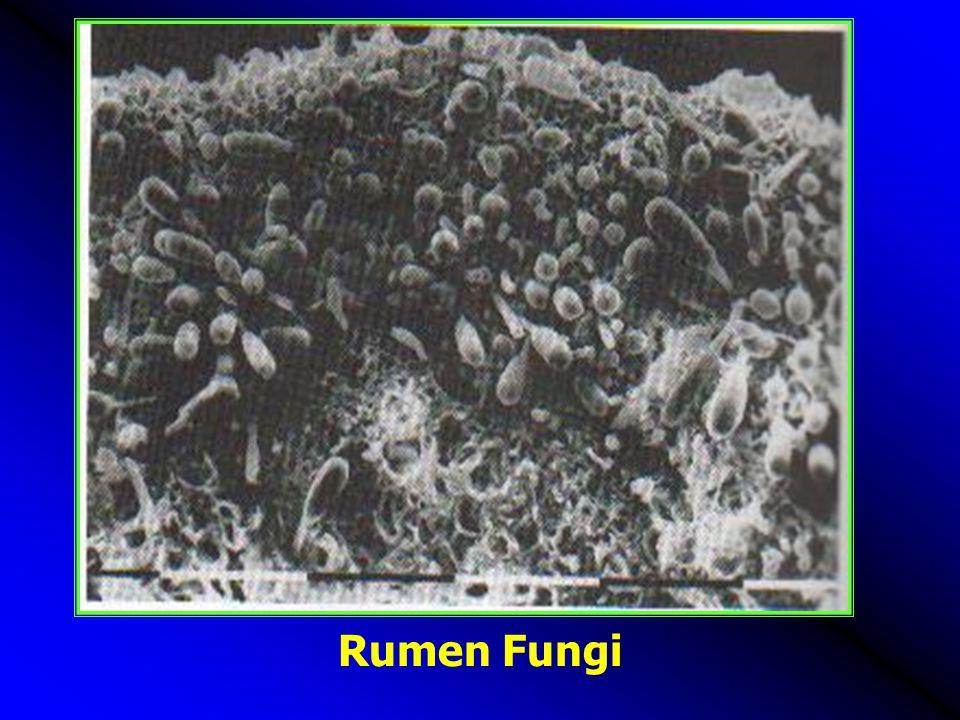 Rumen Fungi