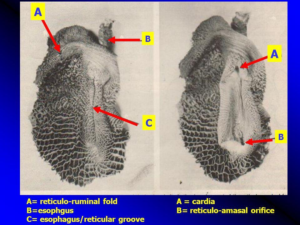 A A C B B A= reticulo-ruminal fold A = cardia