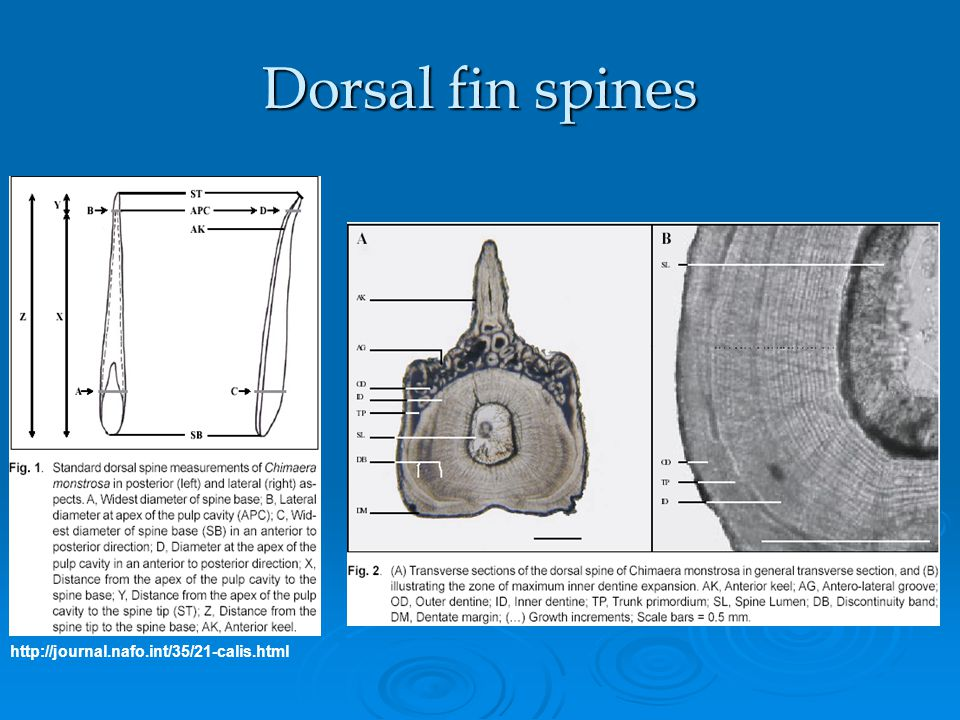 Dorsal fin spines http://journal.nafo.int/35/21-calis.html