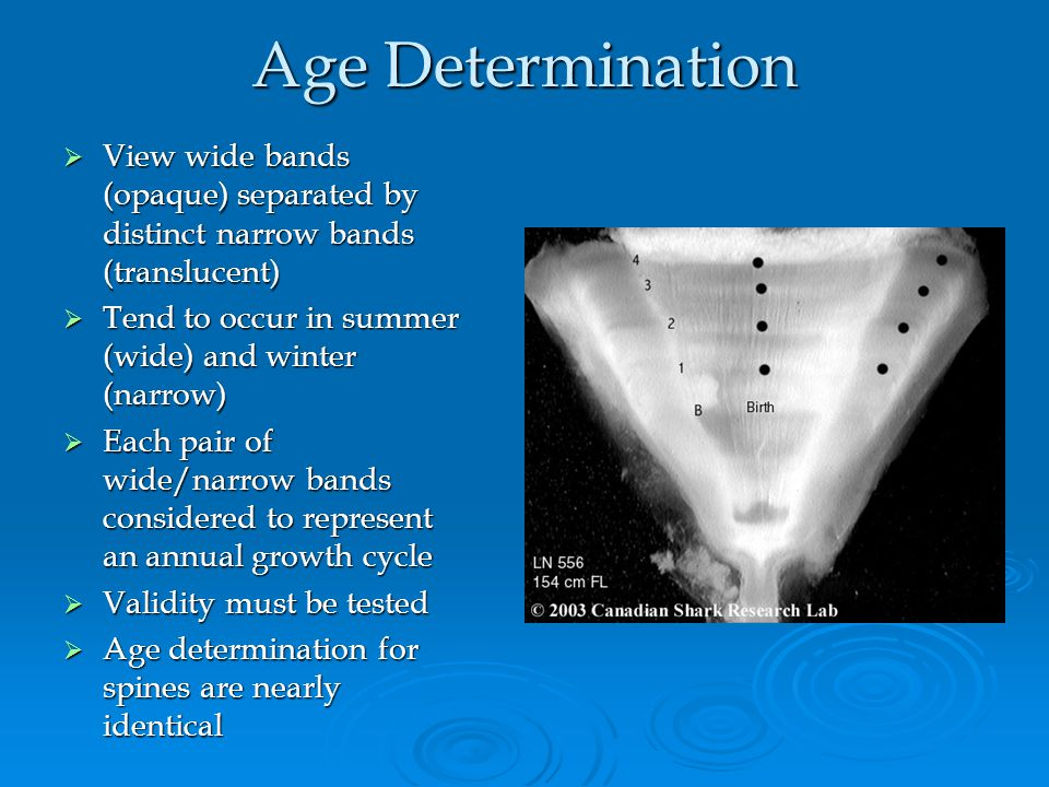 Age Determination View wide bands (opaque) separated by distinct narrow bands (translucent) Tend to occur in summer (wide) and winter (narrow)