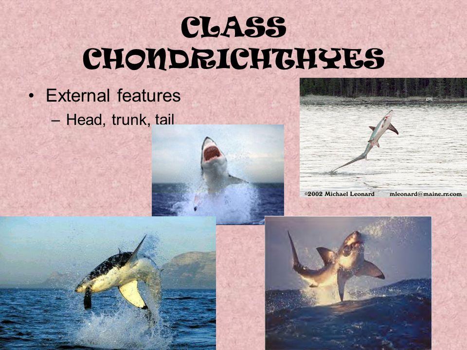 CLASS CHONDRICHTHYES External features Head, trunk, tail