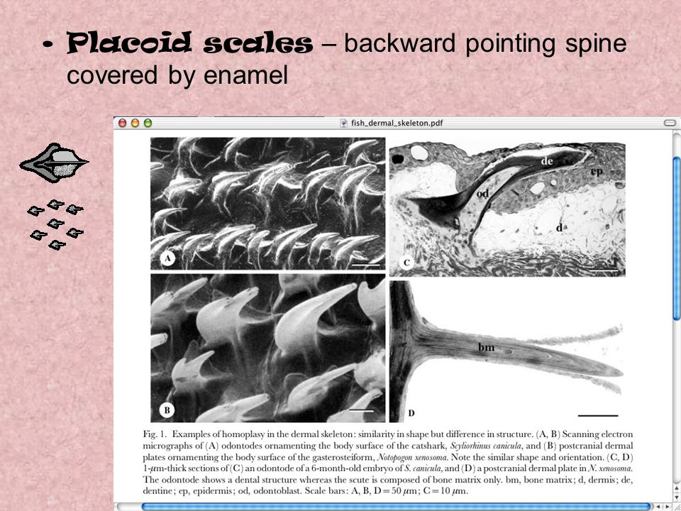 Placoid scales – backward pointing spine covered by enamel