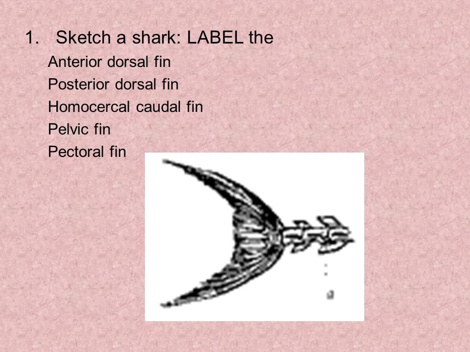 Sketch a shark: LABEL the