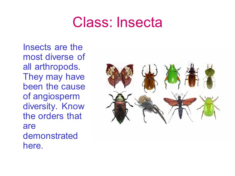 Class: Insecta