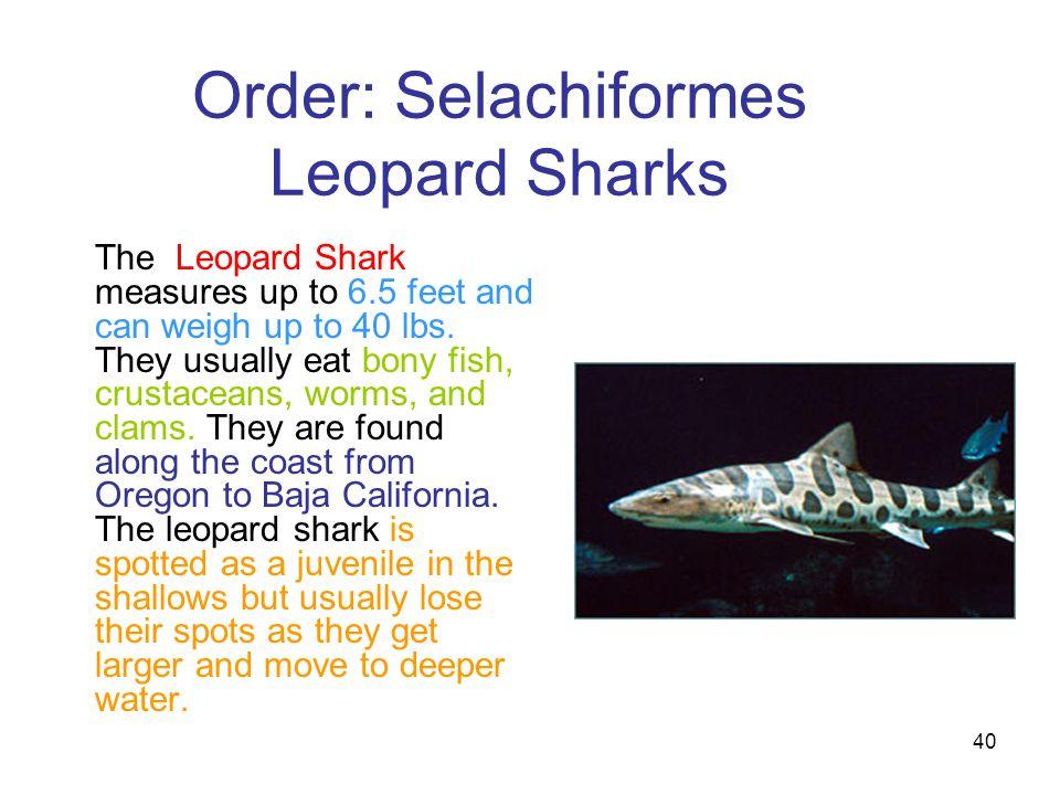 Order: Selachiformes Leopard Sharks