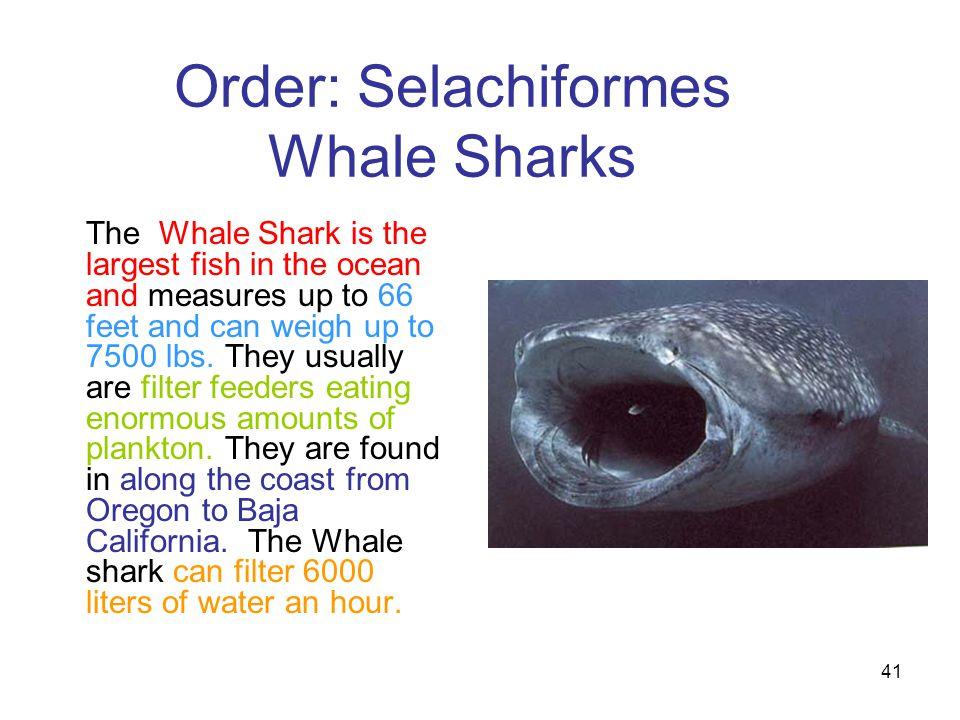 Order: Selachiformes Whale Sharks