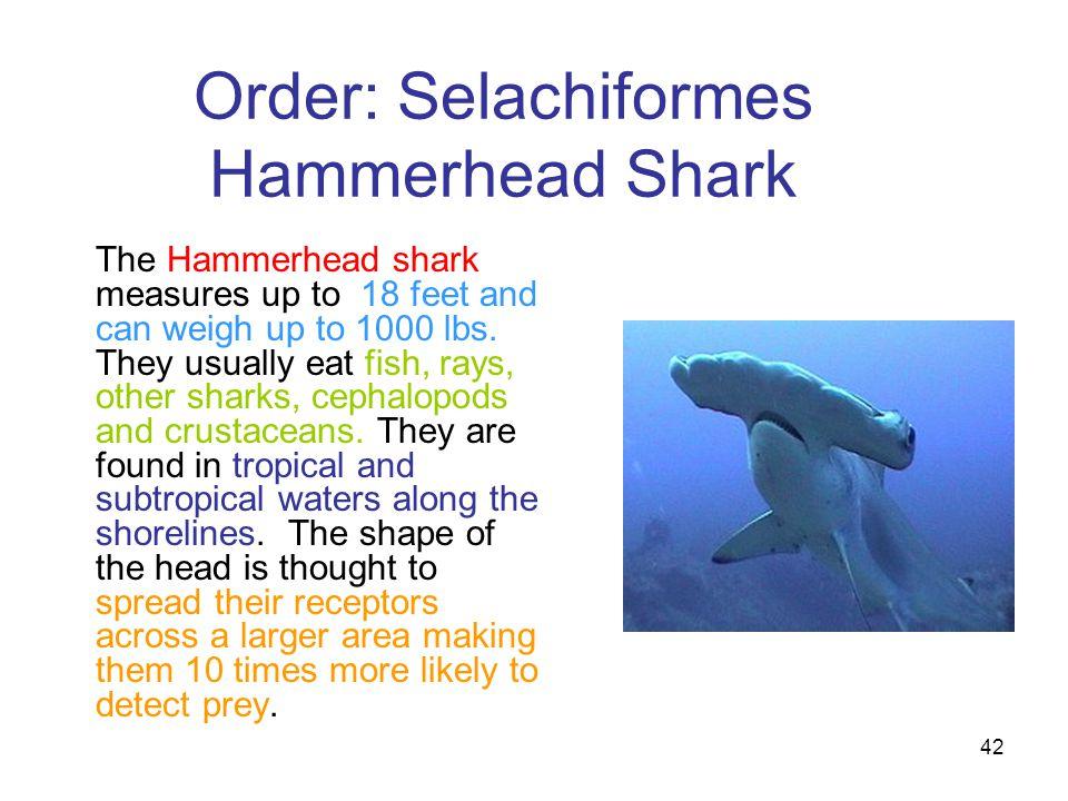 Order: Selachiformes Hammerhead Shark