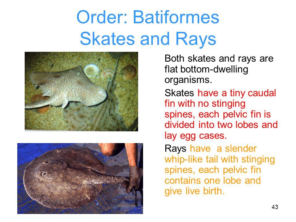 Order: Batiformes Skates and Rays