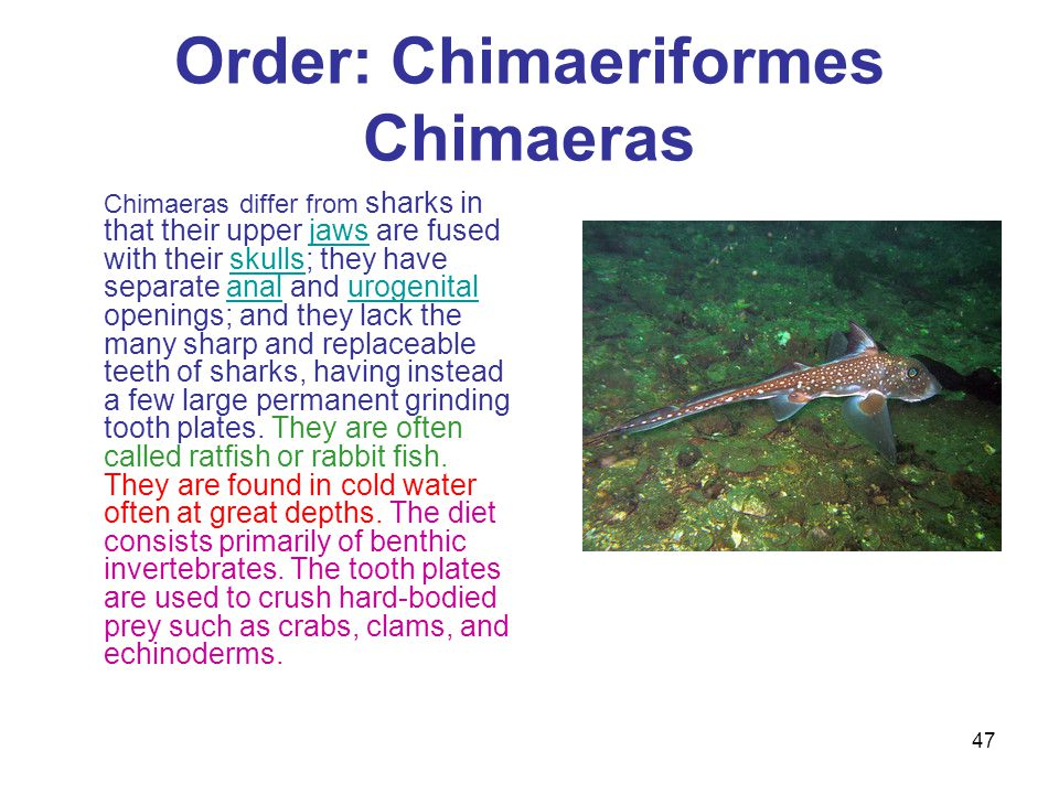Order: Chimaeriformes Chimaeras