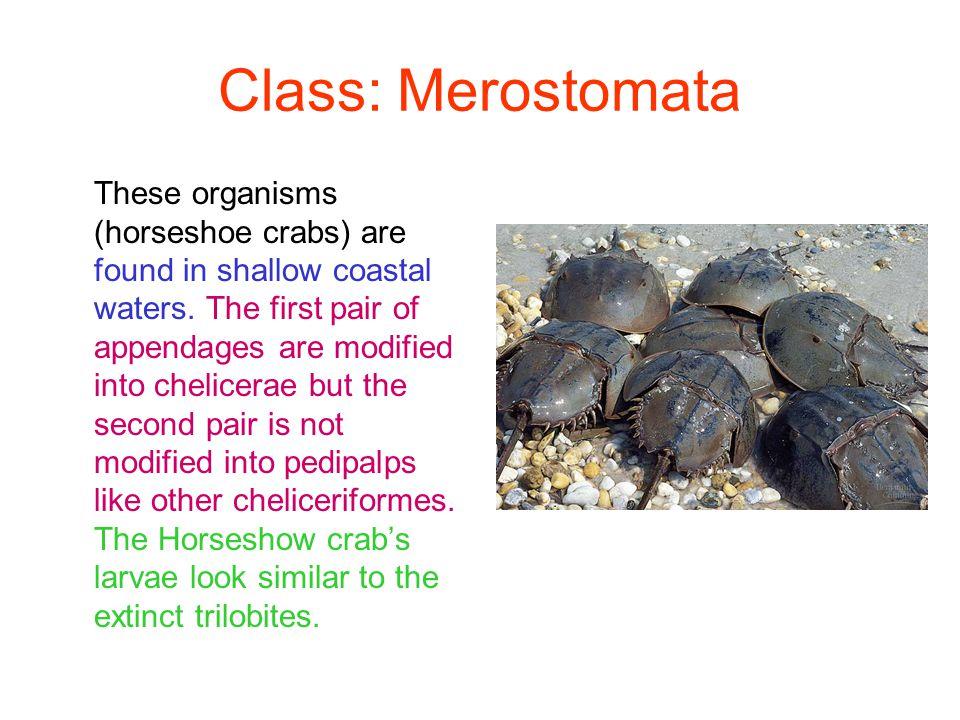 Class: Merostomata
