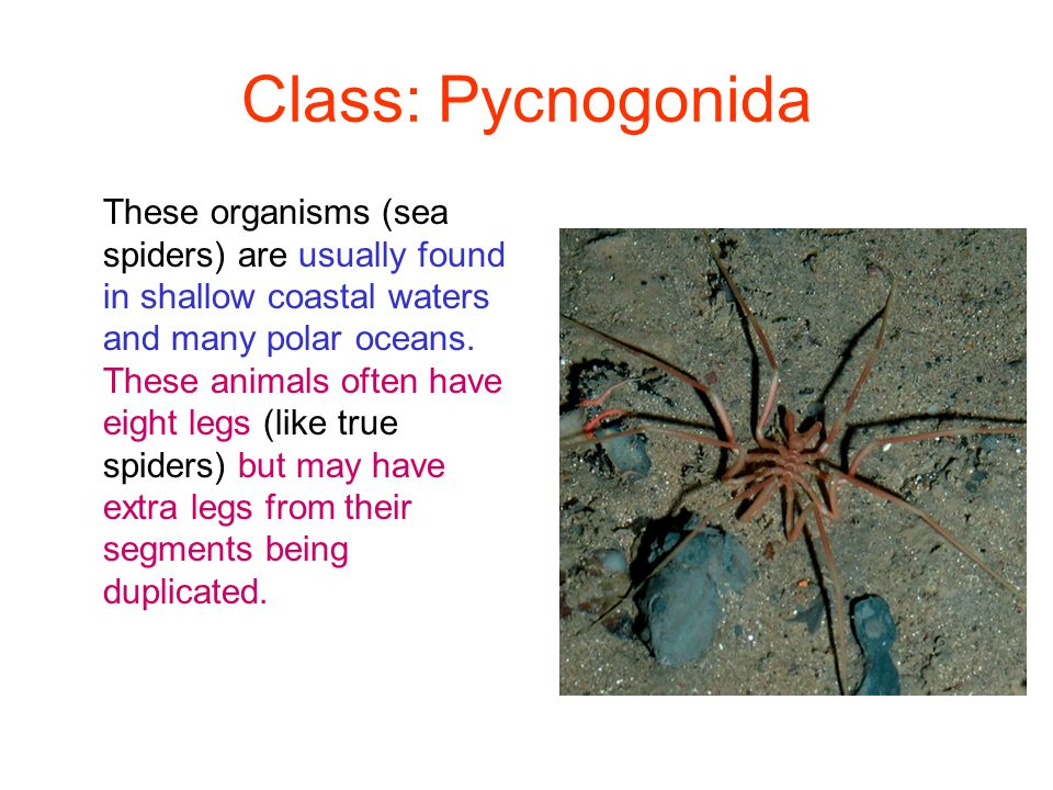 Class: Pycnogonida