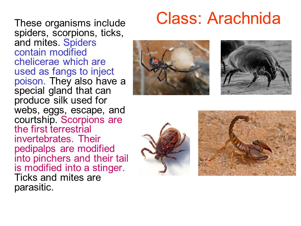 Class: Arachnida