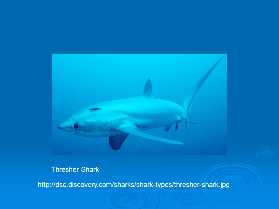 Thresher Shark http://dsc.discovery.com/sharks/shark-types/thresher-shark.jpg