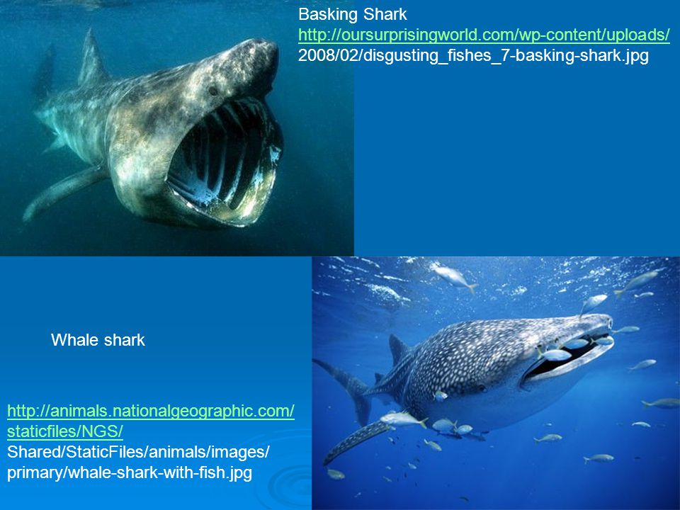 Basking Shark http://oursurprisingworld.com/wp-content/uploads/ 2008/02/disgusting_fishes_7-basking-shark.jpg.