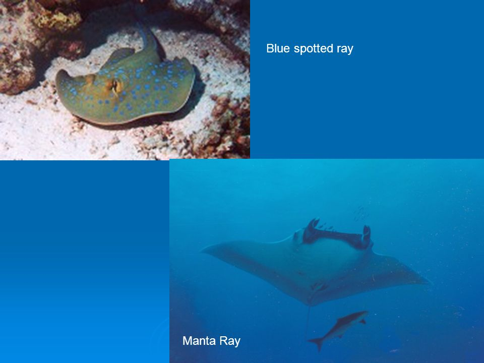 Blue spotted ray Manta Ray