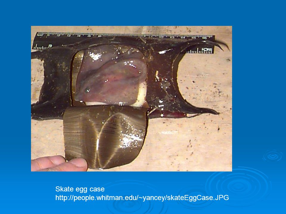 Skate egg case http://people.whitman.edu/~yancey/skateEggCase.JPG