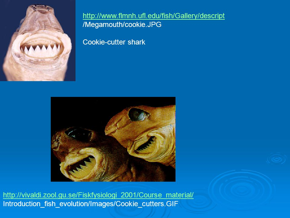 http://www.flmnh.ufl.edu/fish/Gallery/descript /Megamouth/cookie.JPG. Cookie-cutter shark.