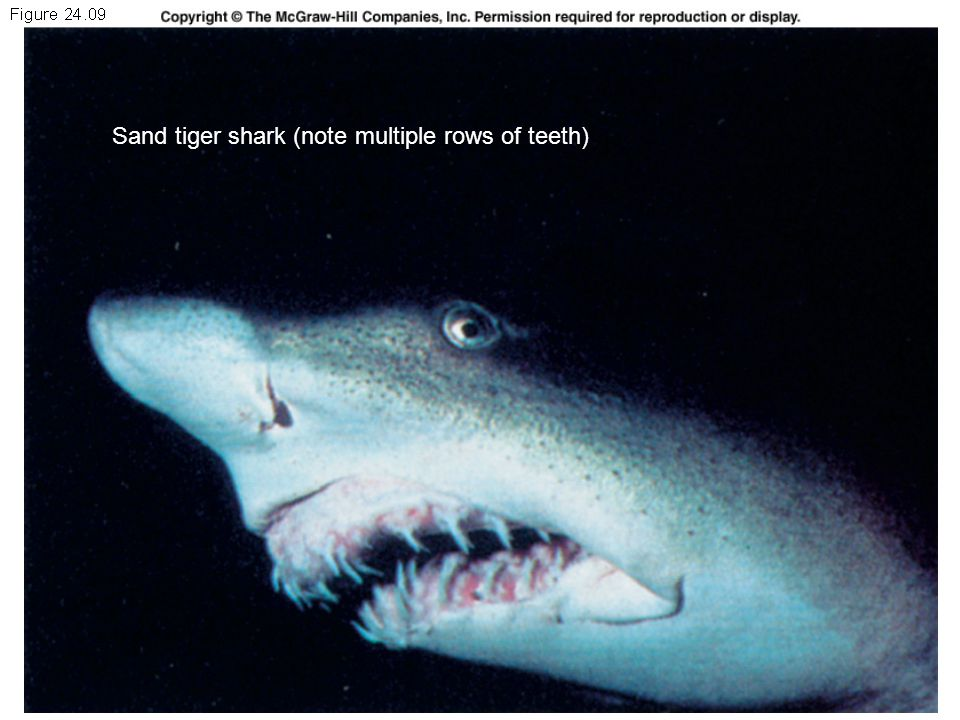 Sand tiger shark (note multiple rows of teeth)