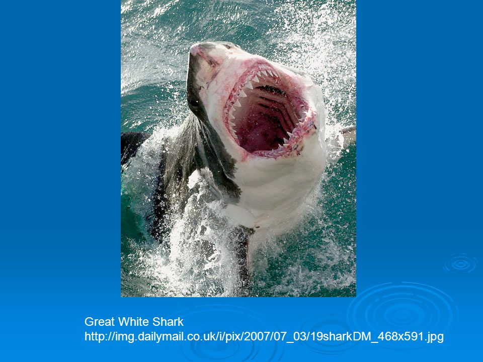 Great White Shark http://img.dailymail.co.uk/i/pix/2007/07_03/19sharkDM_468x591.jpg